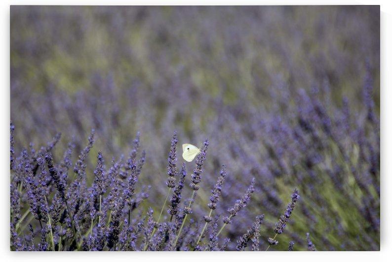 Butterfly in a lavender field by Pietro Ebner