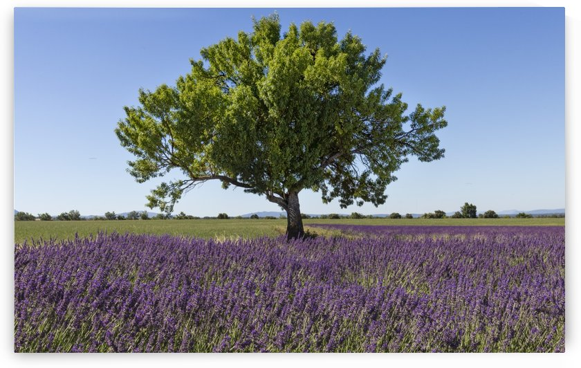 Tree in a lavender field by Pietro Ebner