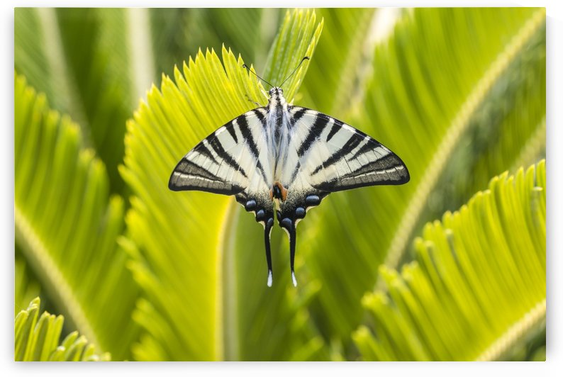 Scarce swallowtail butterfly by Pietro Ebner