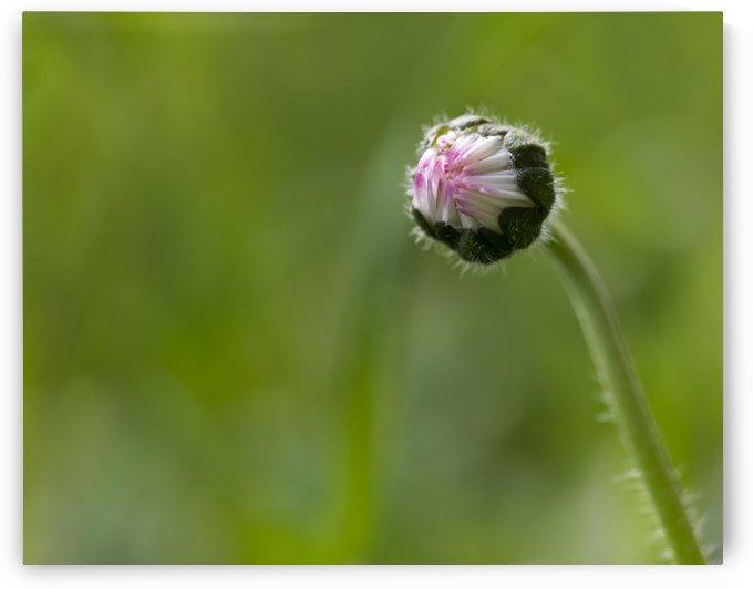 Flower bud by Pietro Ebner