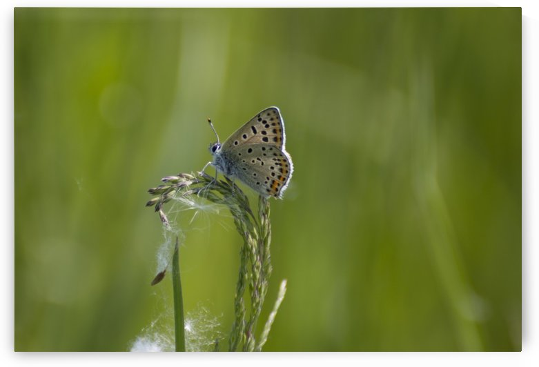 Common blue butterfly by Pietro Ebner