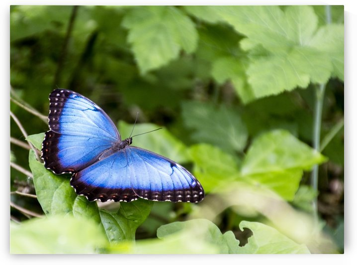 Morpho peleides butterfly by Pietro Ebner