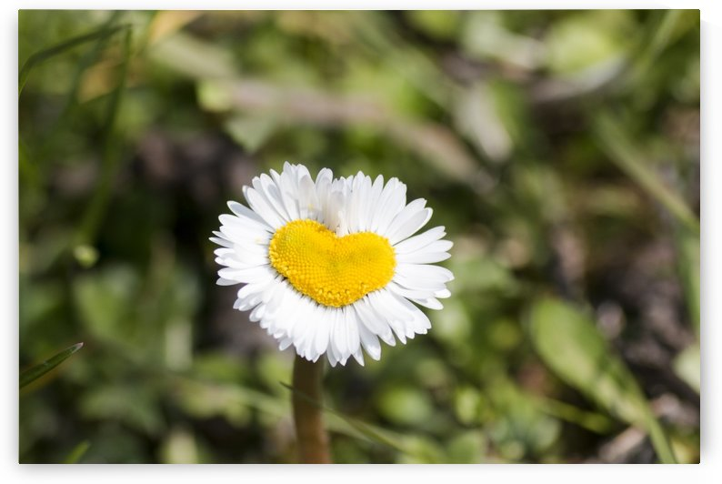 Heart shaped daisy by Pietro Ebner
