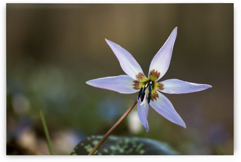 Dogtooth violet by Pietro Ebner