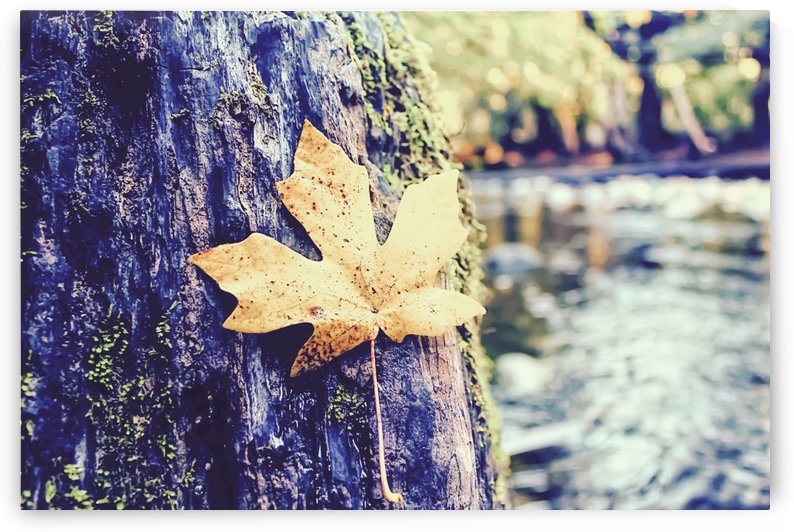 maple leaf on the tree with river and forest background by TimmyLA