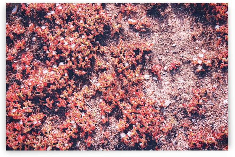 red small flower on the ground at the beach in summer by TimmyLA