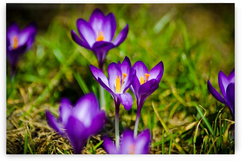 Crocuses Are The First by Ann Romanenko