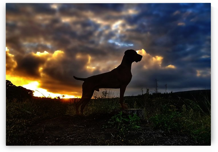 Rise Of The Planet Of The Vizsla. by Ben Sheehan