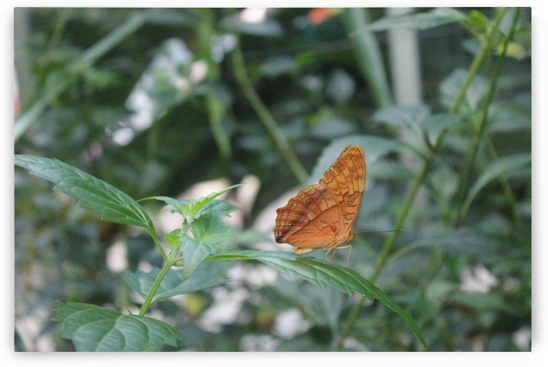 Butterfly by Elysia Hessler