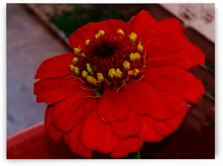 Red Daisy by Nilu Mishra