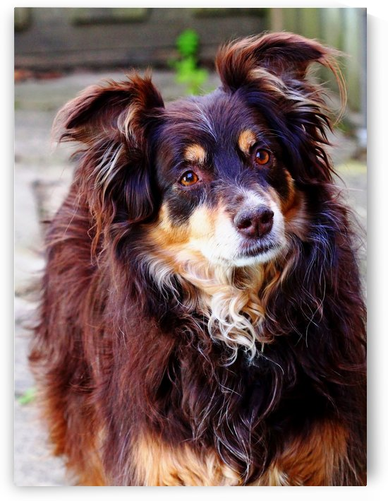 Australian Shepherd by Deb Oppermann