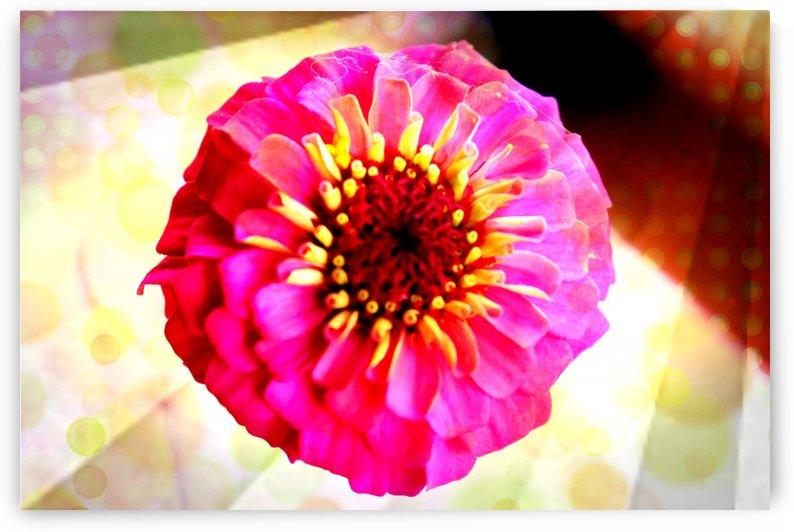 Rainbow daisy by Nilu Mishra