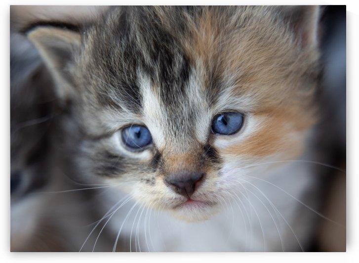 Kitten Face by Jonathan Ross