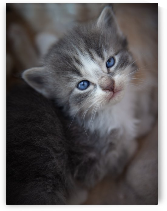 Gray Kitten by Jonathan Ross