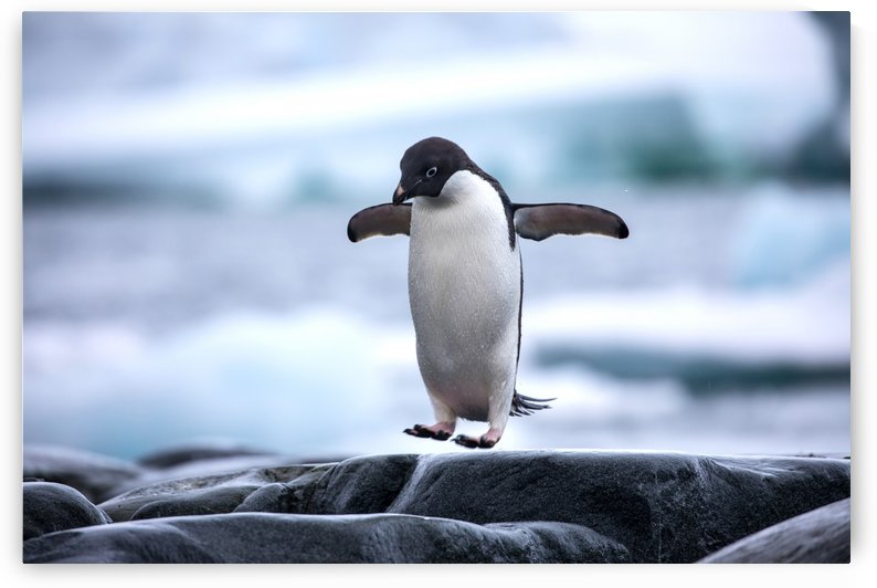 Adelie Penguin in Antarctica by L Kourafas