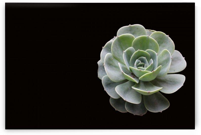 Succulent by Rosalva Aguilar