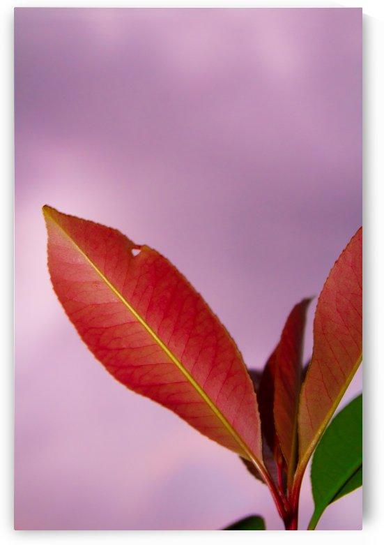 Red Rose Leaf by Rosalva Aguilar