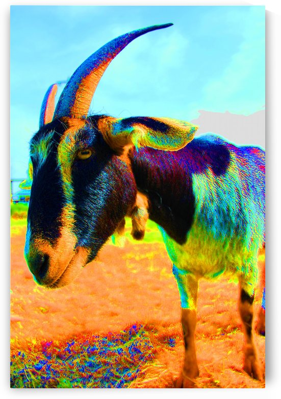 Daisy the Goat by Rosalva Aguilar