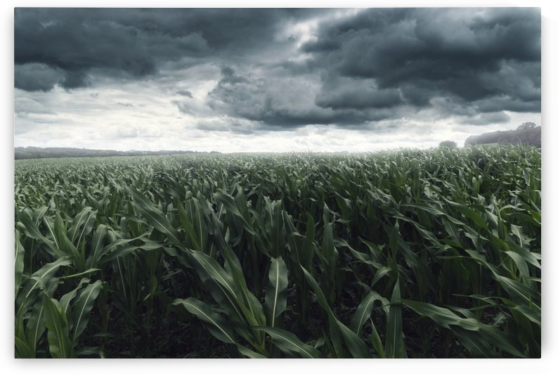 STORMY CLOUDS OVER CORNFIELD by Besa Art