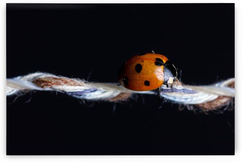 ladybug by Besa Art