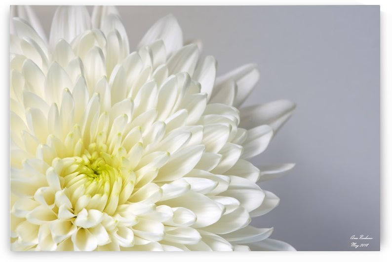 White Mum Flower by crystalfind