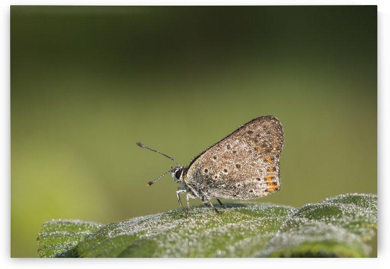 Lycaena tytirus butterfly by Pietro Ebner