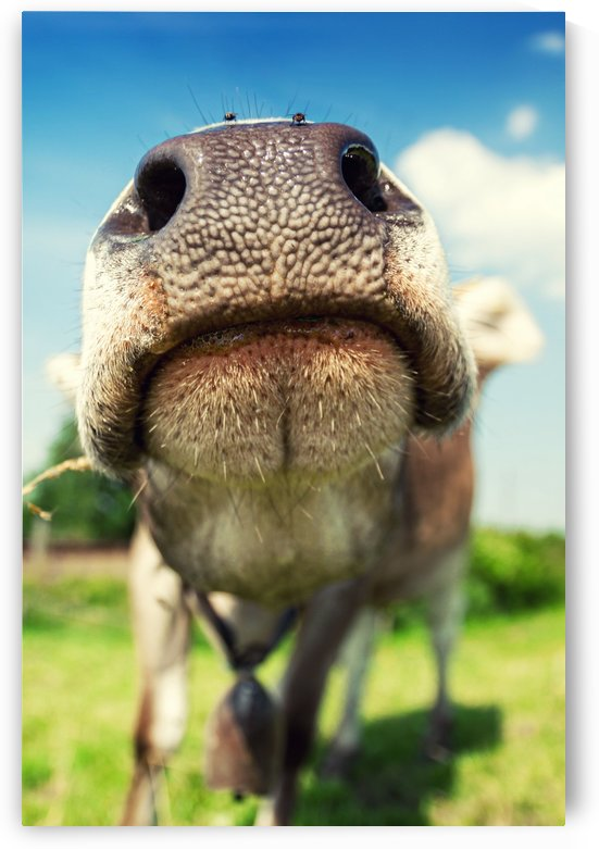 funny nose of a curious cow by Besa Art