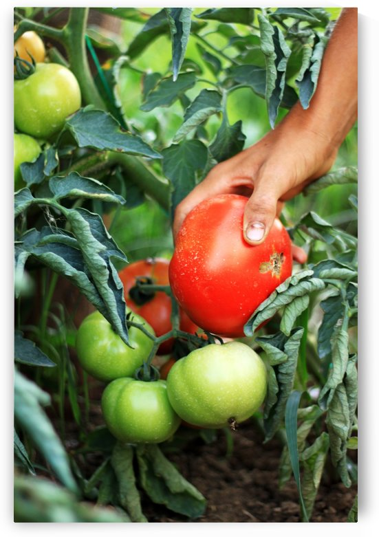 picking up ripe tomatoes by Besa Art