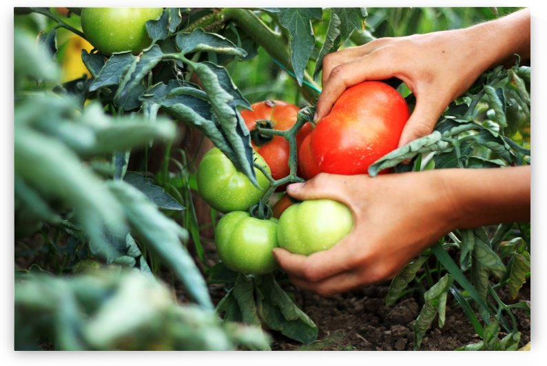 hands picking up fresh tomatoes by Besa Art