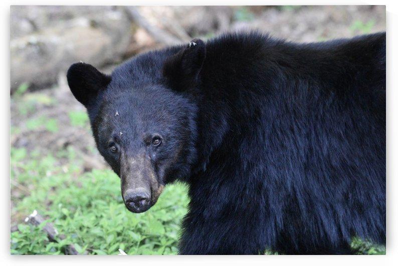 2350- black bear by Paul Winterman
