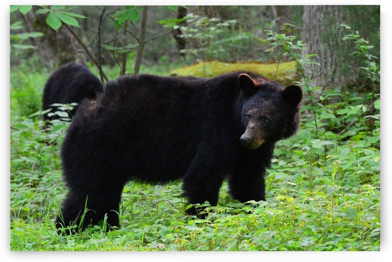 3299-Black Bear by Paul Winterman