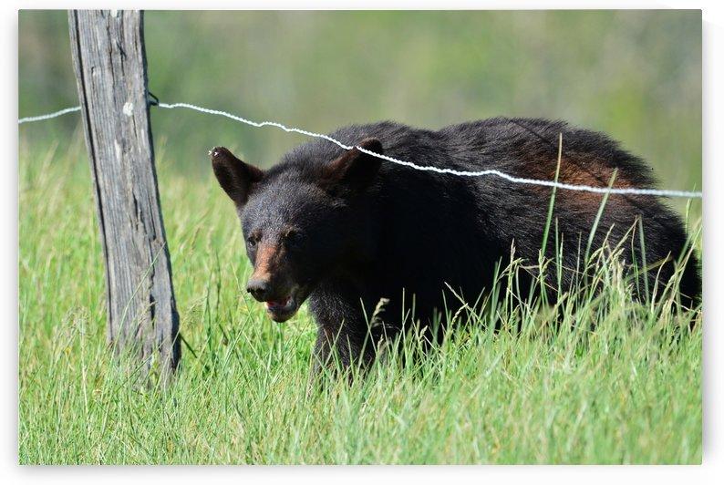 2966-Black Bear by Paul Winterman