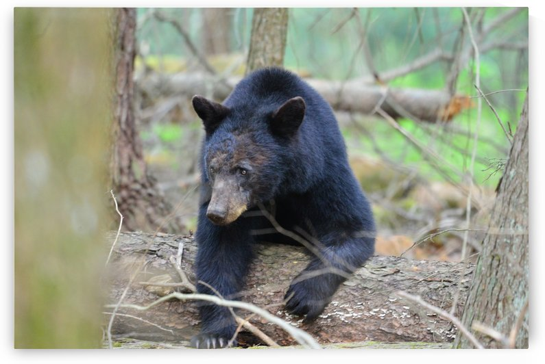 3747-Black Bear by Paul Winterman