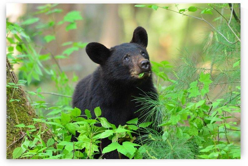 3597-Black Bear by Paul Winterman