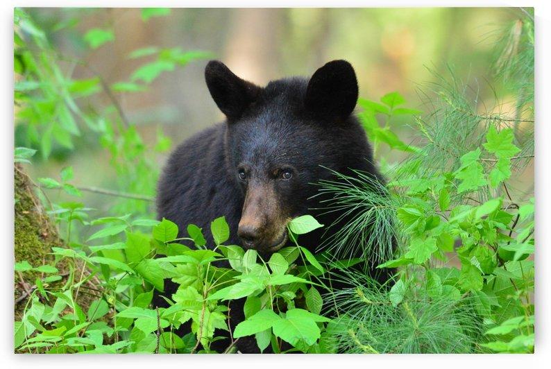 3591- Black bear snack by Paul Winterman