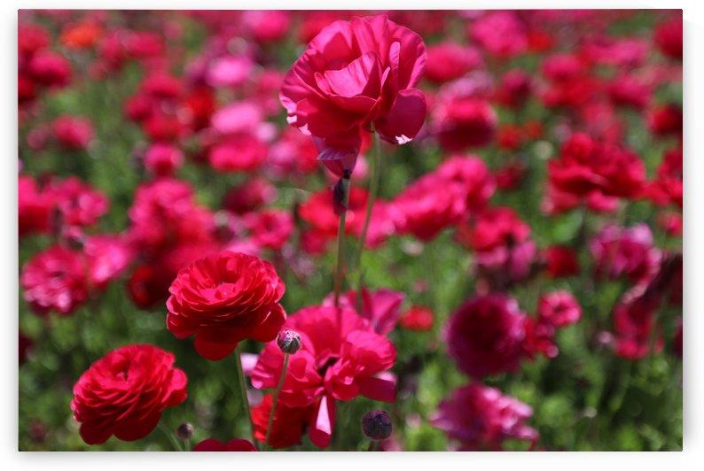 Never-ending Roses  by JOSEPH