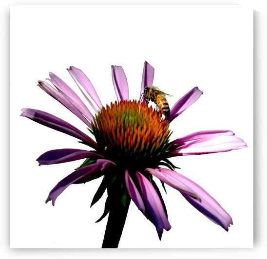 Daisy Bee by Jim Jones