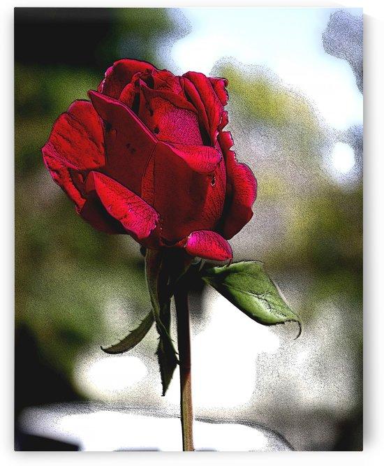 Posterized Rose  by Jim Jones
