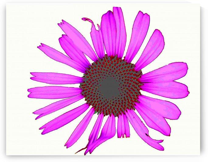 Daisy 3 by Jim Jones