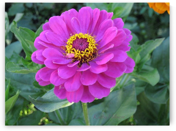 Pink Zinnia by Kathy Hillacre