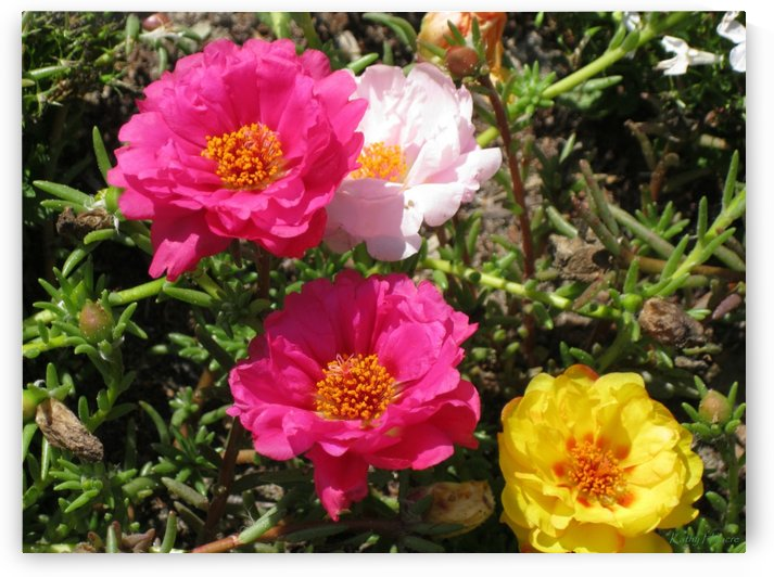 Moss Roses on a Summer Day by Kathy Hillacre
