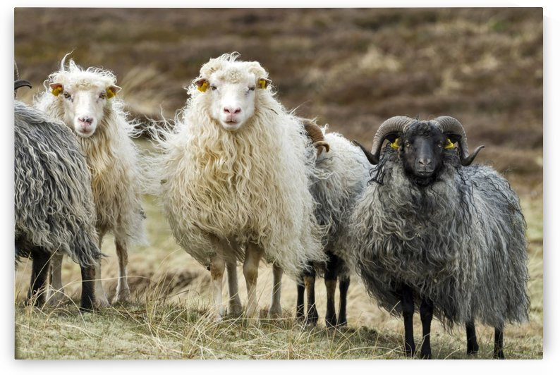 Sheep by Kirsten Warner