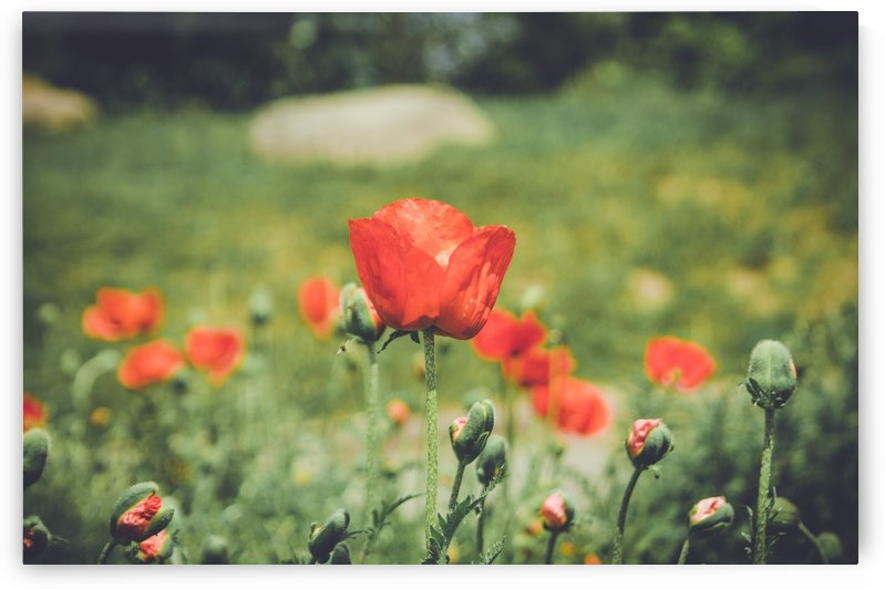 Field of Poppies by Ann Romanenko