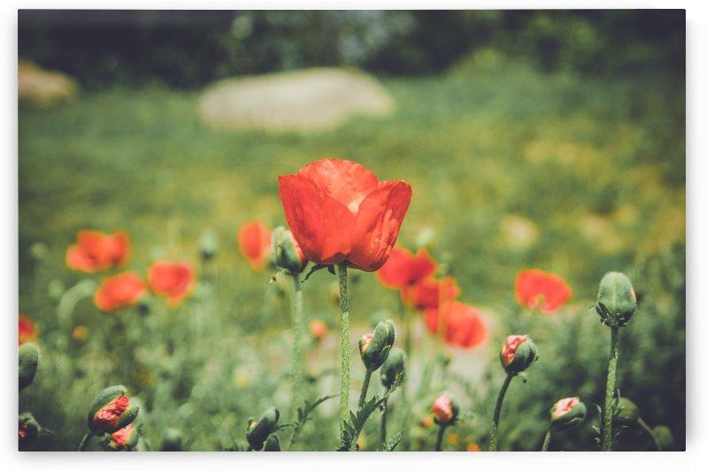 Field of Poppies by Ann Romanenko
