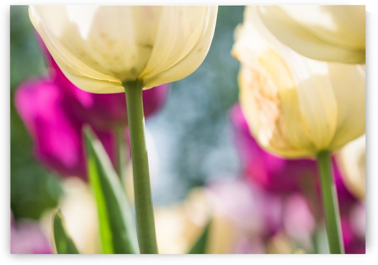 Under The Tulips - Sous Les Tulipes by Carole Ledoux Photography