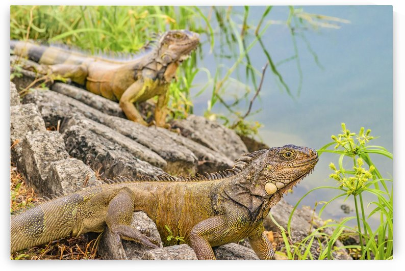 Iguanas at Shore of River in Guayaqui, Ecuador by Daniel Ferreia Leites Ciccarino