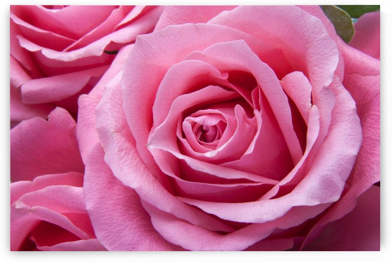 Pretty Pink Roses by One Simple Gallery