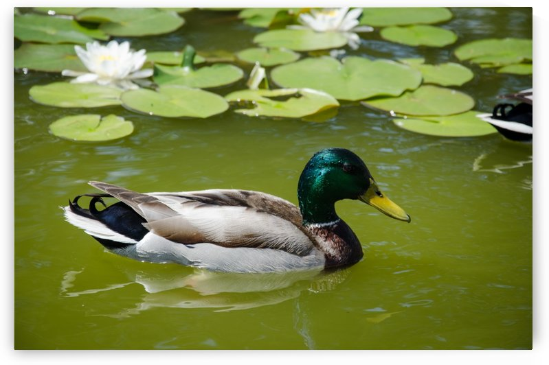 Duck In the Pond with Lilies by Ann Romanenko