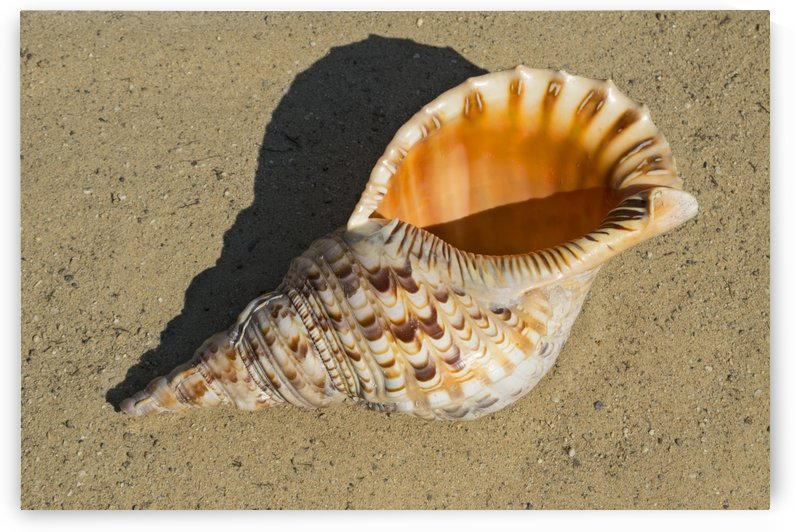 Triton Trumpet Shell by Frank Wilson