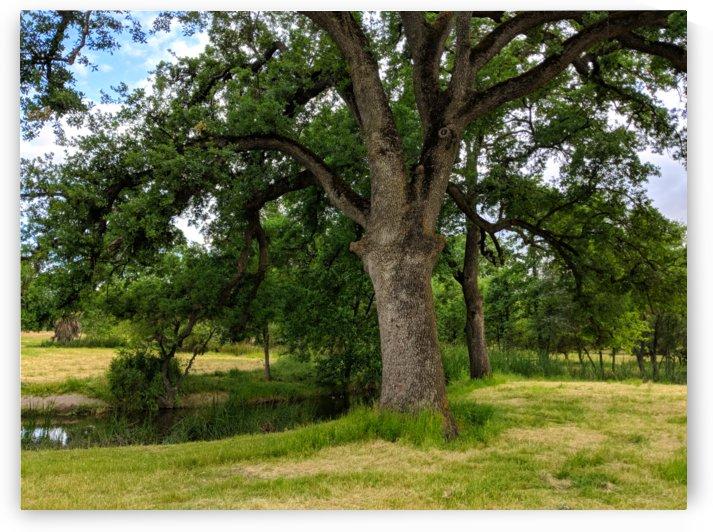 Oak Tree by AprilUhmazing